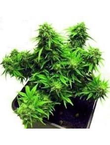 Joint Doctor´s Dwarf Mix Reg (10 Semillas)