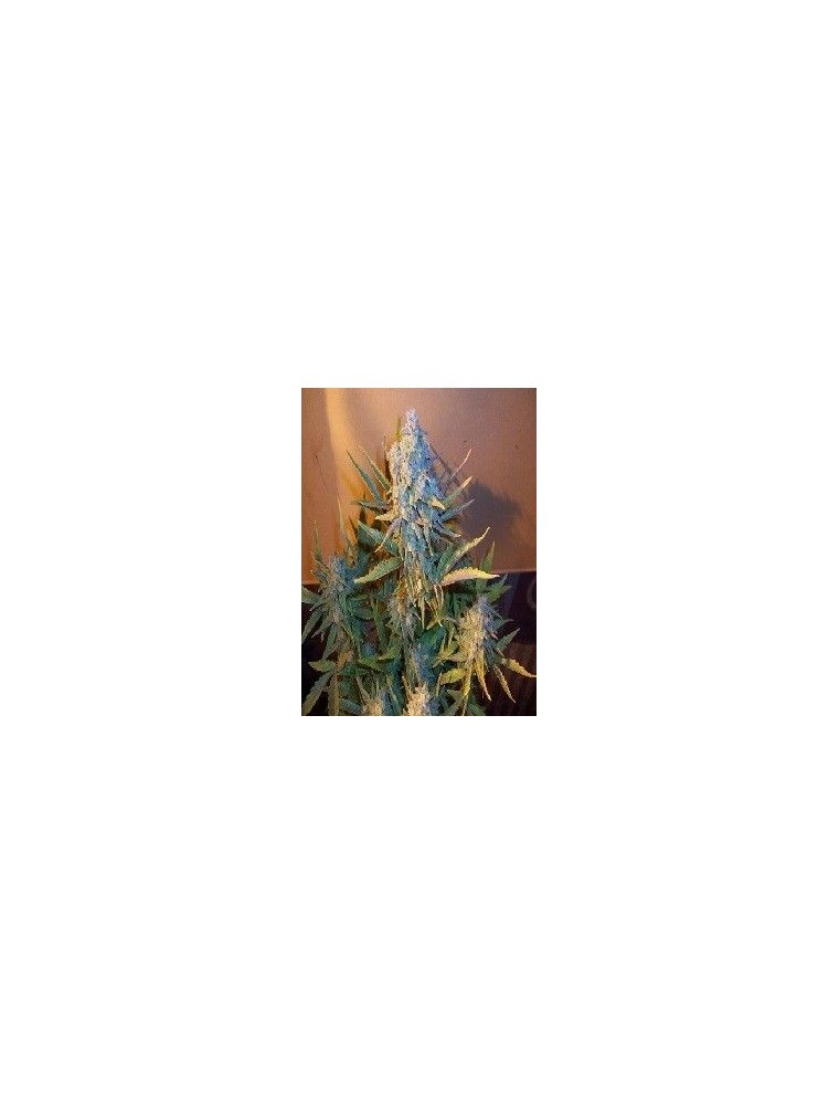 Joint Doctor´s Diesel Ryder Auto (5 Semillas)