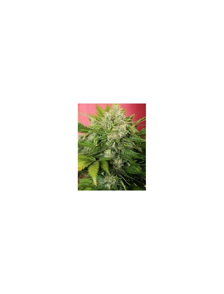 Joint Doctor´s Chronic Ryder Auto (10 Semillas)