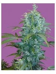 Seeds Of Life Kabala Auto (5 Semillas)