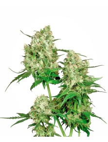 Maple Leaf Indica Regular(10 semillas) Sensi Seeds Regulares
