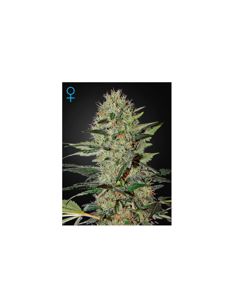 Exodus Cheese Auto (10 Semillas)
