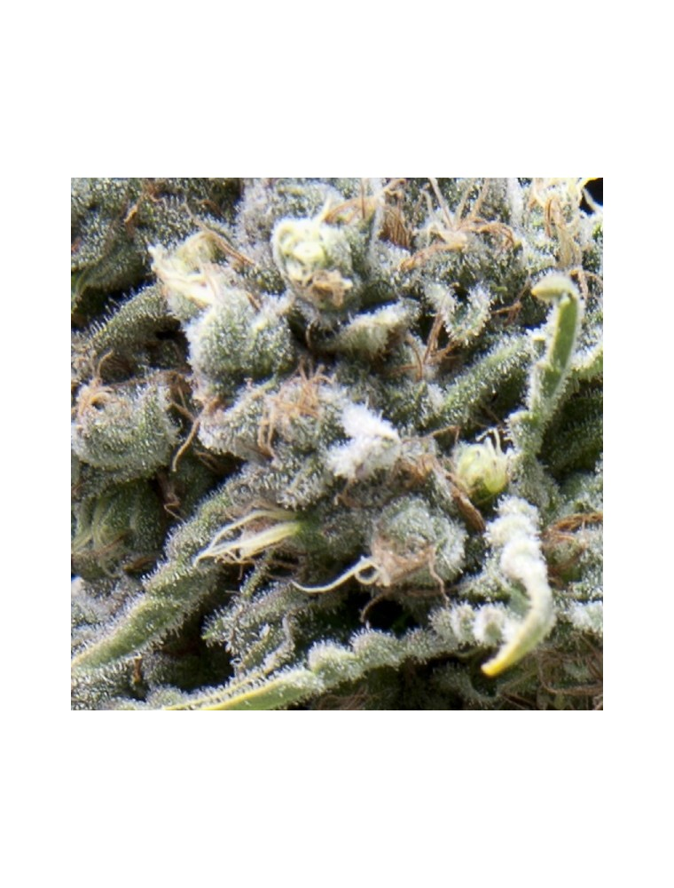 White Widow (5 Semillas)